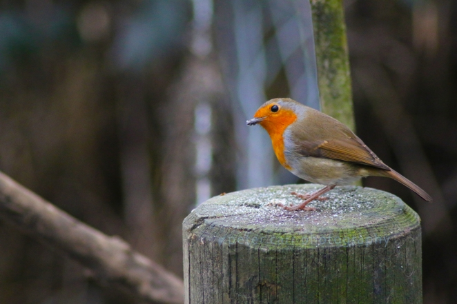 Robin on a fence post