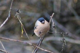 Female Bullfinch